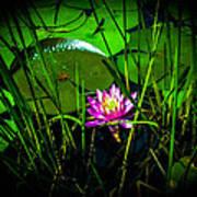 Water Lily 3 Art Print