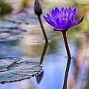 Water Lily 6 Art Print