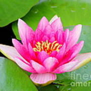 Water Lily Art Print