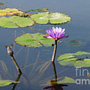 Water Lily And Dragon Fly One Art Print