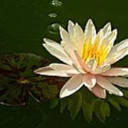 Water Lily And Pad Art Print