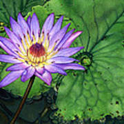 Water Lily At The Conservatory Of Flowers Art Print
