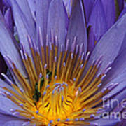 water lily from Madagascar Art Print