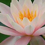 Water Lily II - Close Up Art Print