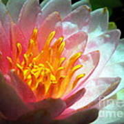 Water Lily In The Sun Art Print
