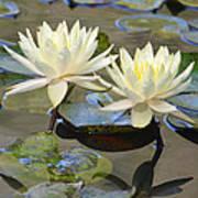 Water Lily Pair Art Print
