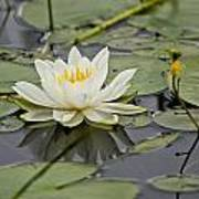 Water Lily Pictures 45 Art Print