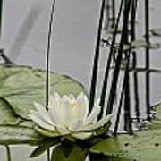 Water Lily Pictures 48 Art Print