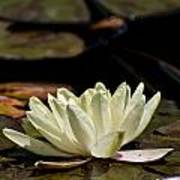 Water Lily Pictures 67 Art Print