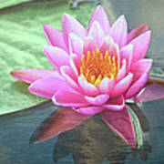 Water Lily Art Print by Sandi OReilly