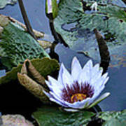 Water Lily Art Print by Sharon McLain
