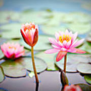 Water Lily's II Art Print by Tammy Smith