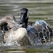 Water Logged - Canadian Goose Art Print