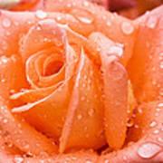 Watered Rose Art Print