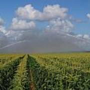 Watering The Corn Art Print