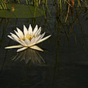 Waterlilly 5 Art Print
