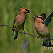 Waxwing Love.. Art Print by Nina Stavlund