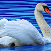 Wayward Swan 2 Art Print