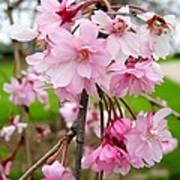 Weeping Cherry Blossoms Art Print