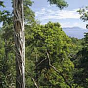 Weeping Fig And Host Natu Tree Sulawesi Art Print