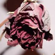 Weeping Rose Art Print