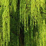 Weeping Willow Tree Enchantment  Art Print
