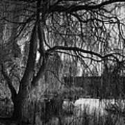 Weeping Willow Tree Print by Ian Barber