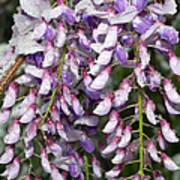 Weeping Wisteria - Spring Snow - Ice - Lavender - Flora Art Print