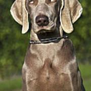 Weimaraner Hunting Dog Art Print