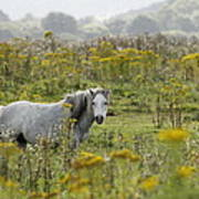 Welsh Pony Art Print
