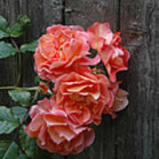 Westerland Rose Wood Fence Art Print