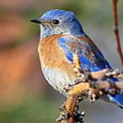 Western Bluebird Profile Art Print