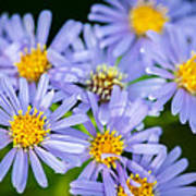 Western Daisies Asters Glacier National Park Art Print