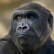 Western Lowland Gorilla Portrait Art Print