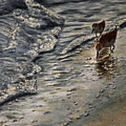 Western Sandpiper Art Print