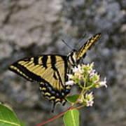 Western Tiger Swallowtail Butterfly 2 Art Print