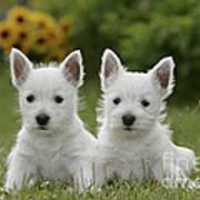 Westie Puppies Art Print