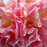 Wet Hollyhock Flower Upclose Art Print