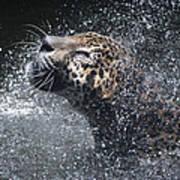 Wet Jaguar  Art Print