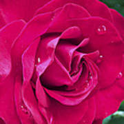 Wet Rose Art Print by Kenneth Feliciano