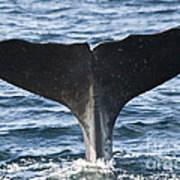 Whale Diving Art Print