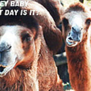 Camel What Day Is It? Art Print