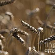 Wheat Art Print