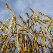 Wheat Standing Tall Art Print