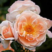 Wheeping Rose Art Print