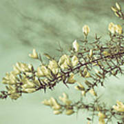 When Gorse Flowers Sing Their Melody Art Print