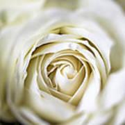 Whie Rose Softly Art Print