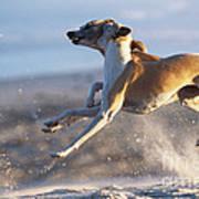Whippet Dogs Fighting Art Print