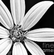 White And Black Flower Close Up Art Print