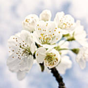White And Bright - Beautiful Blossoms Art Print
